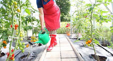 gardening woman watering tomatoes in green