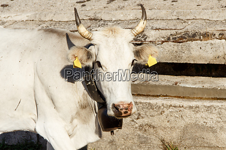 podolic cow near watering place