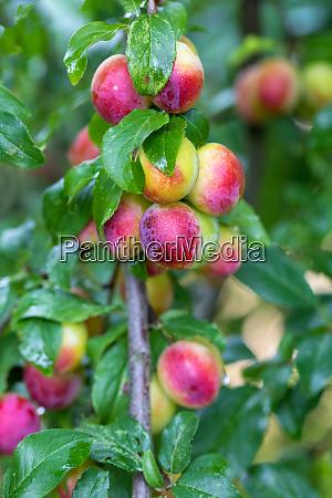 red plum mirabelle prunus domestica