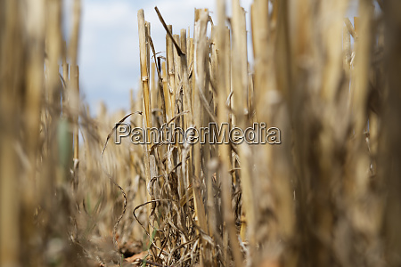 on a stubble field in ground