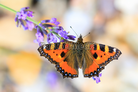 small tortoiseshell butterfly on lavender