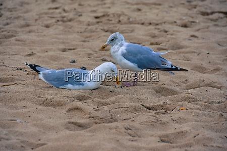 seagull couple on the beach