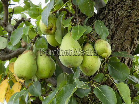 green pears developing on a pear