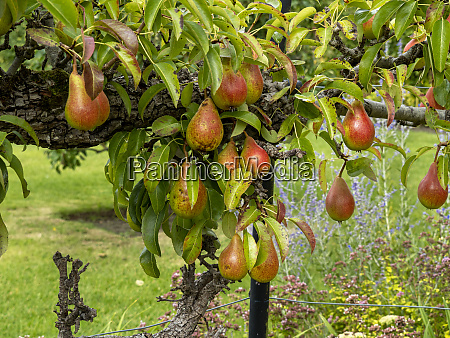 red and green pears developing on