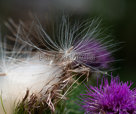 white fine seed threads of a