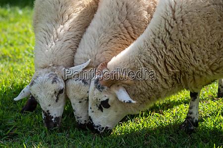 speckled sheep grazing in green grassy