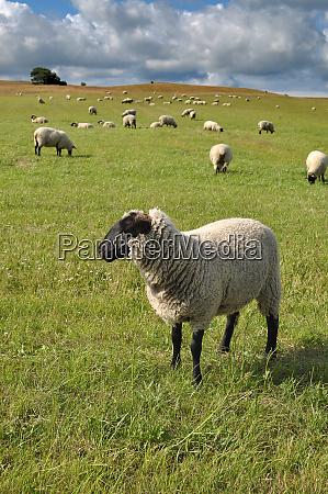 german blackheaded mutton sheep germany