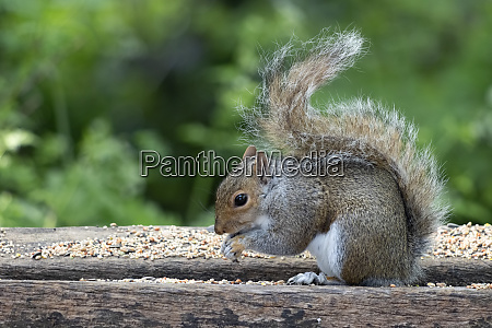 grey squirrel sciurus carolinensis eating seed