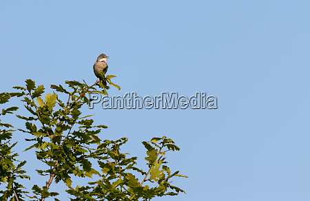 common whitethroat sylvia communis perched in