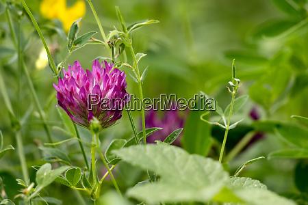 red clover trifolium pratense flowering along
