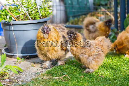 silkie hens and rooster looking for