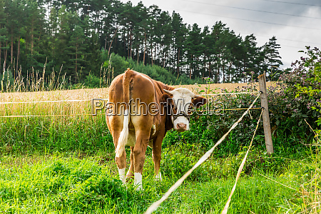 cow resting and grazing on meadow
