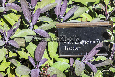culinary herb background salvia officinalis