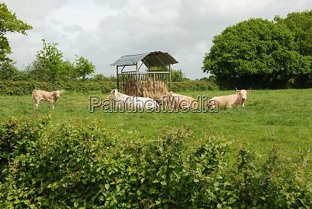 cows in meadows