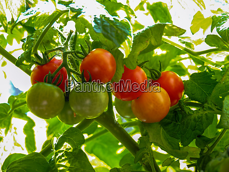 ripe and unripe tomatoes developing on