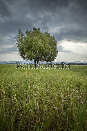 scenic tree in a grassy field