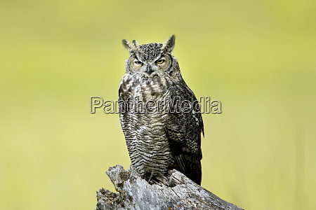 great horned owl on a tree