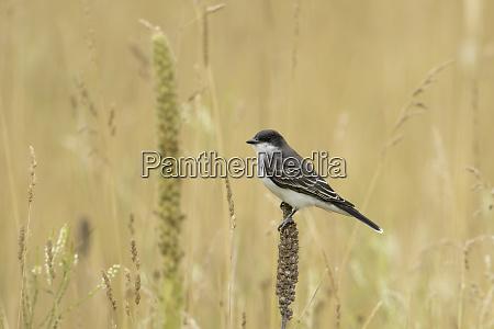 perched eastern kingbird in idaho