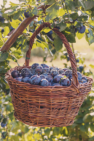 freshly torn plums in the basket