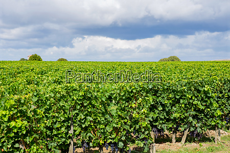 vineyard at the rural fields