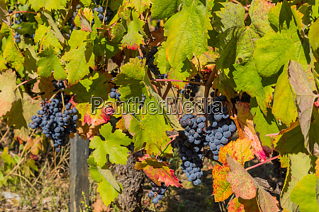grapes from douro valley