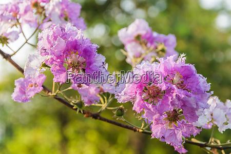 queen crape myrtle flowers