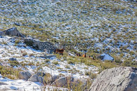 wild horses pasturing