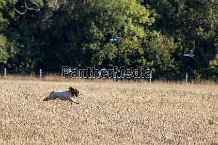dog running through a recently harvested