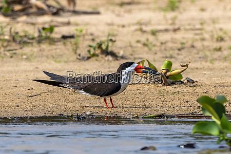 brazil pantanal 2019 18610
