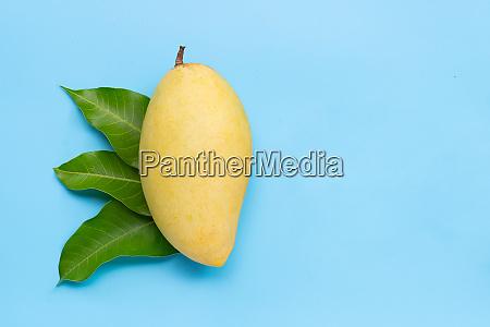 tropical fruit mango on blue background