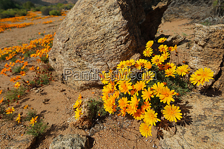 colorful namaqualand daisies south africa