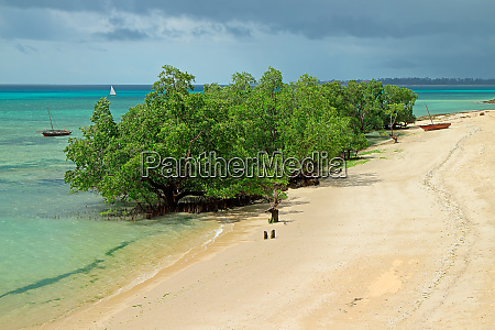 mangrove trees zanzibar island