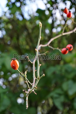 rosehip a branch without leaves autumn