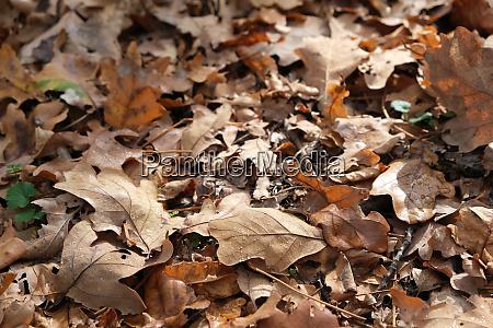 dry oak leafs with dew drops