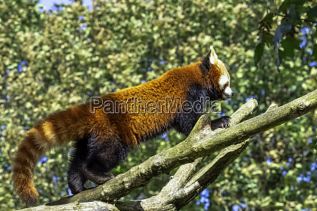 red panda ailurus fulgens known as