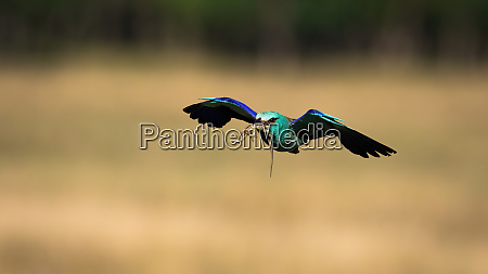 colorful european roller flying and holding