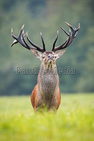 proud red deer stag looking into