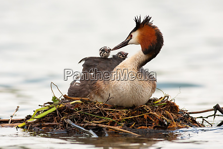 great crested grebe mother feeding cubs