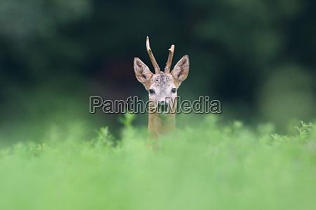 roe deer peeping from grass in