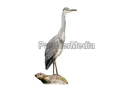 alert grey heron sitting on bough