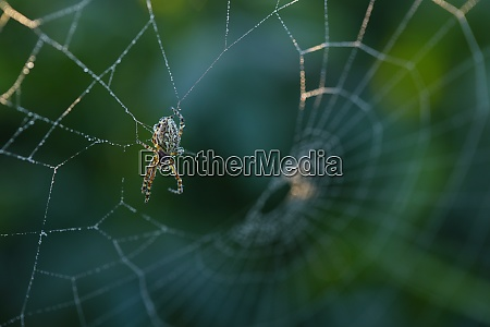 cross spider sitting on web in