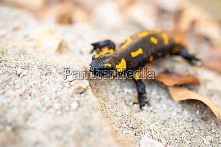 fire salamander sitting on sand in