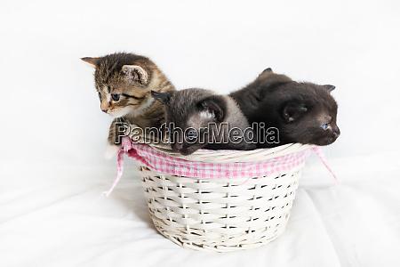 kittens in a wicker basket