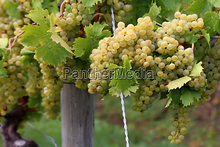 harvest ready grapes