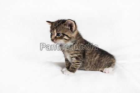 tabby kitten cat