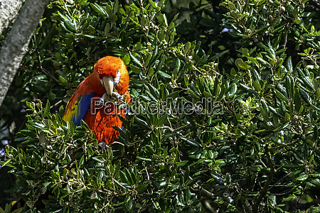 ara macao known as scarlet macaw