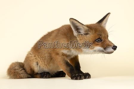 mammal fox 2020 32725