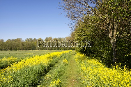 footpath with rapeseed