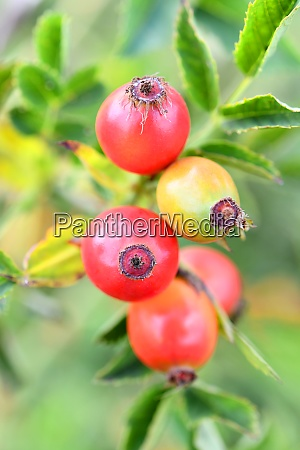 rose hips on the edge of
