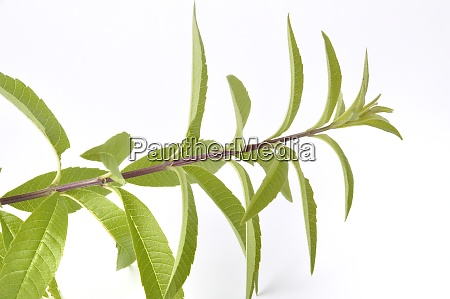 lemon verbena on a white background